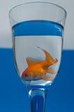 Goldfish no vidro Fotos de Stock