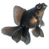 Goldfish noir Photos stock