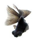 Goldfish noir sur le blanc Photographie stock libre de droits