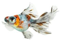 goldfish odizolowywał Zdjęcia Stock