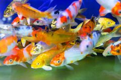 Free Goldfish Or Golden Carp, As An Object Of Breeding Stock Photo - 211564680