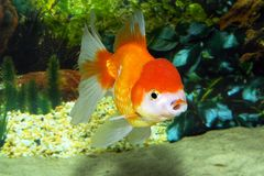 Goldfish Oranda. Oranda goldfish, close up. Aquarium Royalty Free Stock Photography