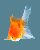 Goldfish. Oranda goldfish isolated on water color background Stock Image