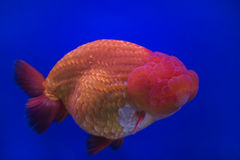Goldfish oranda Stock Images