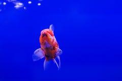 Goldfish oranda Stock Image