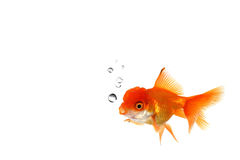 Goldfish orange de fantaisie dans l'eau Photo stock