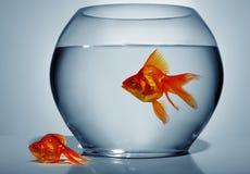 Goldfish outside of water Stock Image