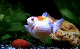 Goldfish pearlscale Obraz Royalty Free