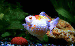 Golf ball pearlscale goldfish Royalty Free Stock Image