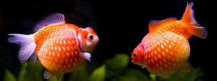 Goldfish pearlscale Stock Photos