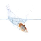 Goldfish plunging into the water. Goldfish jumping into the water, isolated on a white background Stock Image