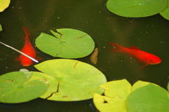 Goldfish Pond. With two red fishes Royalty Free Stock Image