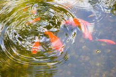 Goldfish Pond. Goldfish in a small pond Stock Images
