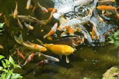 Goldfish in pond. Overhead view of group of goldfish swimming in pond Stock Images