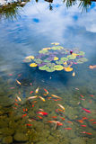 Goldfish pond. Beautiful pond with goldfishes and reflecting sky Stock Image