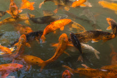 The goldfish pond. Chengdu wuhou temple in the goldfish pond, swarms of brocade carp swam freely, green water against the golden carp clever posture. Visitors Royalty Free Stock Images