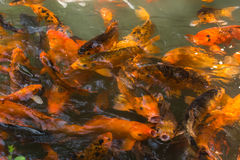 The goldfish pond Stock Images