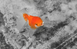 Goldfish in the pond swimming up get some air Stock Photography