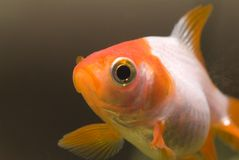 Goldfish portrait 02 Stock Image
