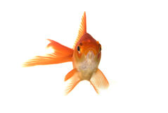 Goldfish portrait Royalty Free Stock Photos