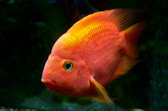 Goldfish posing behind the glass. Royalty Free Stock Photography