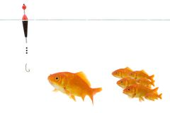 Goldfish prenant l'amorce Photos libres de droits