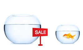 Goldfish is preparing to jump into a new aquarium. Stock Photos