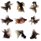 Goldfish preto Imagem de Stock