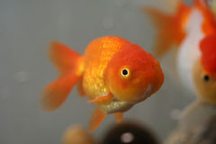Goldfish principal de lion Images stock