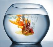 Goldfish punging Stock Photos