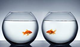 Goldfish que cae en amor Imágenes de archivo libres de regalías