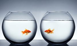 Goldfish que cai no amor Imagens de Stock Royalty Free