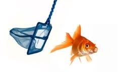 Goldfish que intenta evitar ser cogida Imagen de archivo