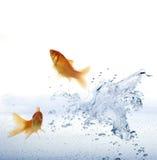 Goldfish que pula fora da água. Fotos de Stock