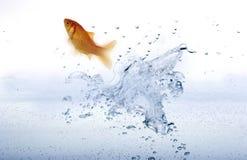 Goldfish que salta del agua. Fotografía de archivo