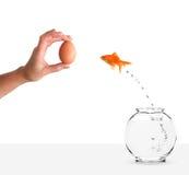 Goldfish que salta hacia la mano con cebo del huevo Fotos de archivo libres de regalías
