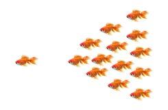 Goldfish race. Winner bussines metaphor Royalty Free Stock Image