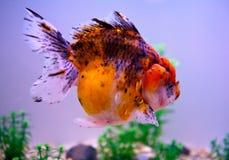 Goldfish raro Imágenes de archivo libres de regalías