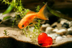 Goldfish and red heart Stock Image