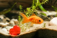 Goldfish and red heart Royalty Free Stock Photography