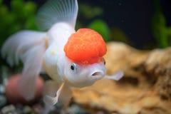 Goldfish rojo del oranda del casquillo Fotografía de archivo