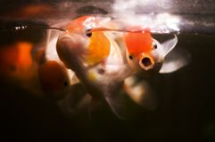 Goldfish rosso di oranda della protezione immagini stock libere da diritti