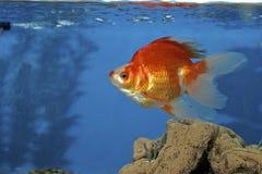 Goldfish rosso e bianco 606625 di Ryukin Fotografia Stock Libera da Diritti