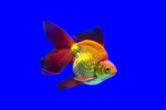 Goldfish Ryukin Obrazy Royalty Free