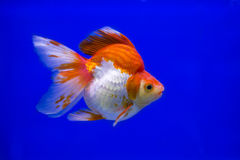 Goldfish Ryukin fancy colors in the tank Stock Image