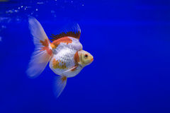 Goldfish Ryukin Stock Photography