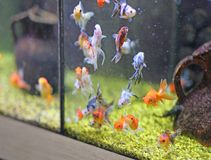 Goldfish for sale in pet shop Aquarium Stock Photography