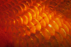 Goldfish Scale. Closeup of red goldfish scale detail Royalty Free Stock Photography