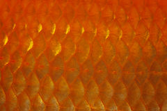 Goldfish Scale. Closeup of red goldfish scale detail Stock Photography