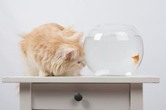 Goldfish scared cat Stock Photos
